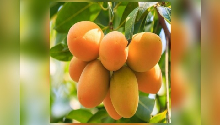 16 varieties of Indian mangoes to reach Bahrain today
