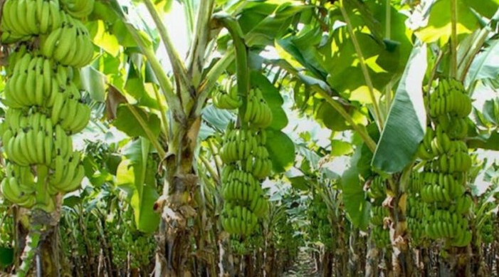India exported 1.91 lakh tonne banana worth Rs 619 crore during 2020-21
