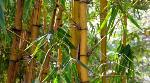 India launches bamboo-based project to stop desertification, enhance tribal income