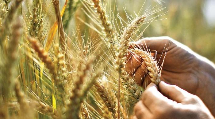 केंद्र ने 2022-23 मार्केटिंग सीजन के लिए रबी फसलों के लिए बढ़ाया एमएसपी