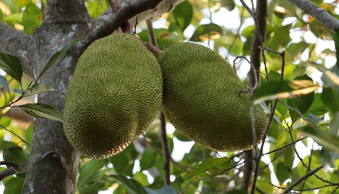 In a first, value-added products from Jackfruit, Passion fruit & Nutmeg from Kerala exported to Australia
